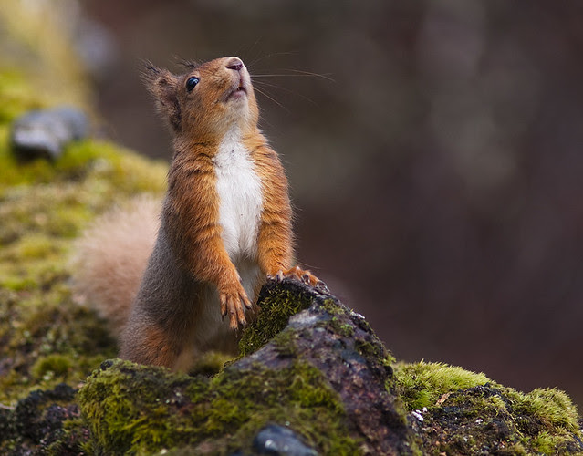 Red Squirrel Nose Pointing