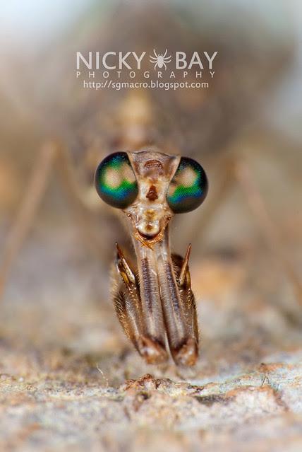 Mantidfly (Mantispidae) - DSC_4204