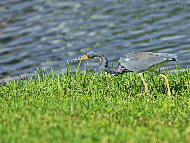 Tricolored Heron stalking dragonfly 2-20131021