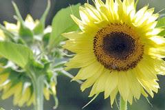 sunflower 038