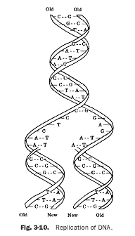 13 Best Images of DNA Replication Worksheet Middle School  DNA Structure Worksheet High School