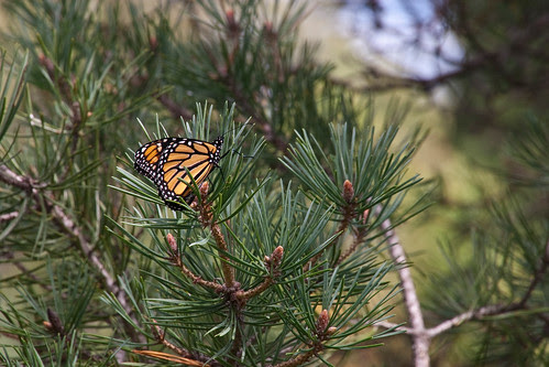 Monarch in the Trees