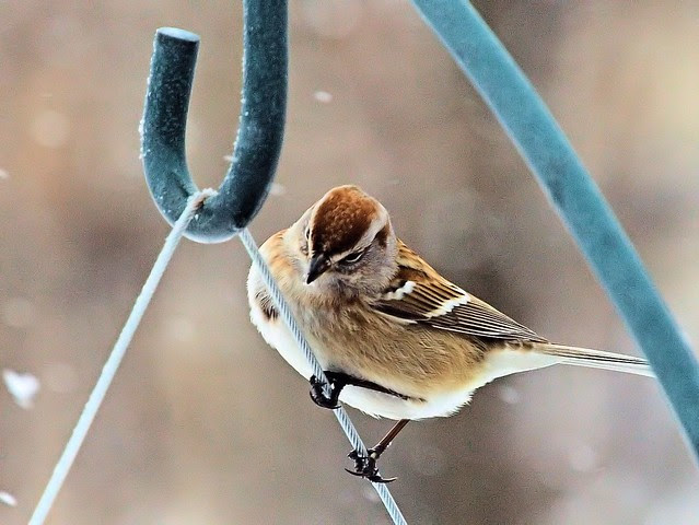 American Tree Sparrow 3-20130227