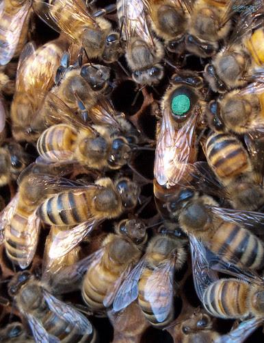 2009 Marked Queen Bee by steveburt1947, on Flickr