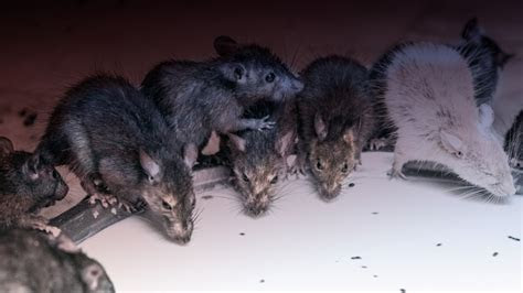 America Is Infested With Rats and Some of Them Are the Size of Infants ? Mother Jones