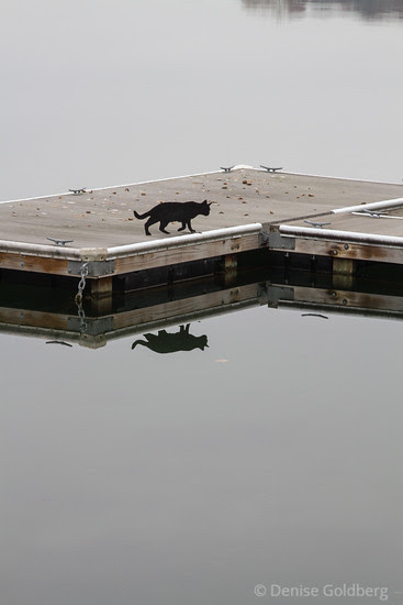 black cat walking, reflected