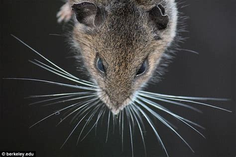 Video shows how mice use their whiskers to see   Daily Mail Online