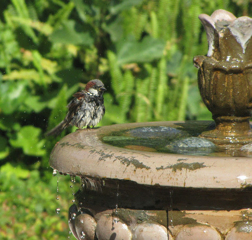 house sparrow giving a shake