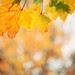 Maple Leaves & Bokeh Square