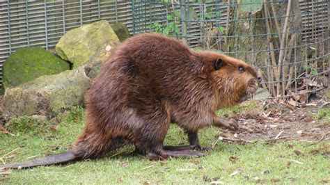 What is the world record weight for a beaver?   Reference.com