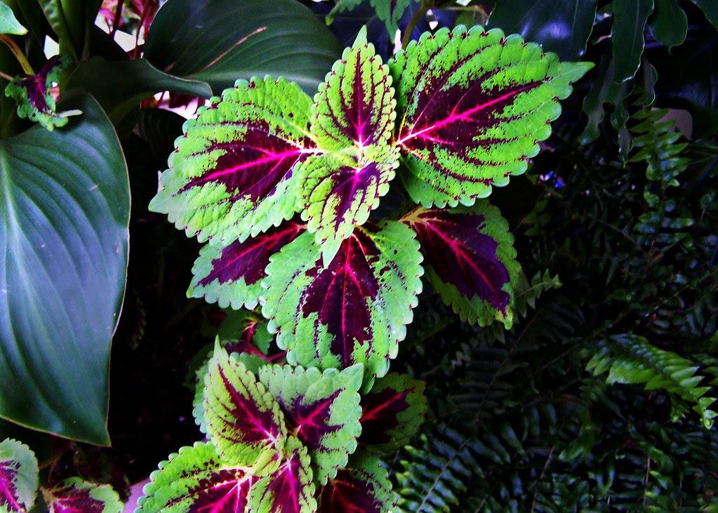Lamiaceae Solenostemon Scutellarioides Cultivar Coleus