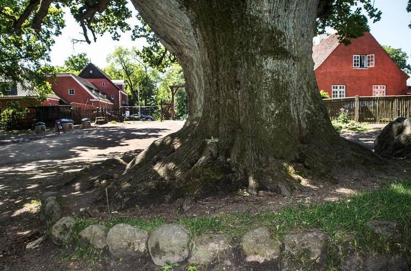 De gik efter hovedet: Den 45-årige har massive skader, primært i ansigtet, efter det voldsomme overfald ved dette egetræ i Dyrehaven. Foto: Mogens Flindt