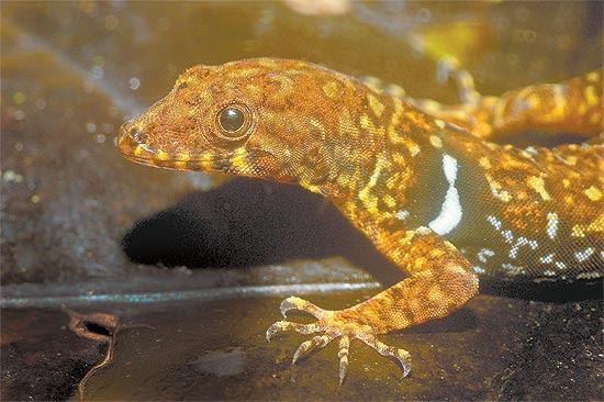 """O lagarto """"Gonatodes nascimentoi"""", uma das 130 espécies descobertas pelo Museu Paraense Emílio Goeldi"""