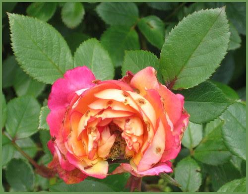 02 rose wormholes