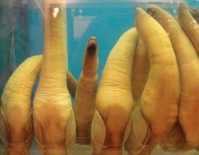 532957Geoducks 7 Worlds Strangest Species – Geoducks  Pictures Seen on www.VyperLook.com
