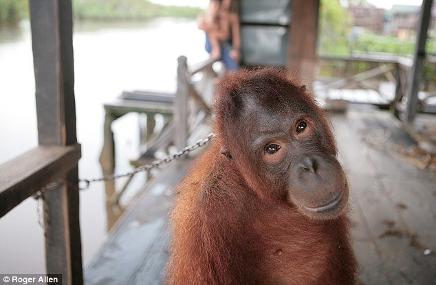Misery: Mely is kept by the fisherman on a stinking verandah just yards from the jungle where she should be free to roam.