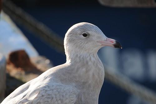 glaucous gull2