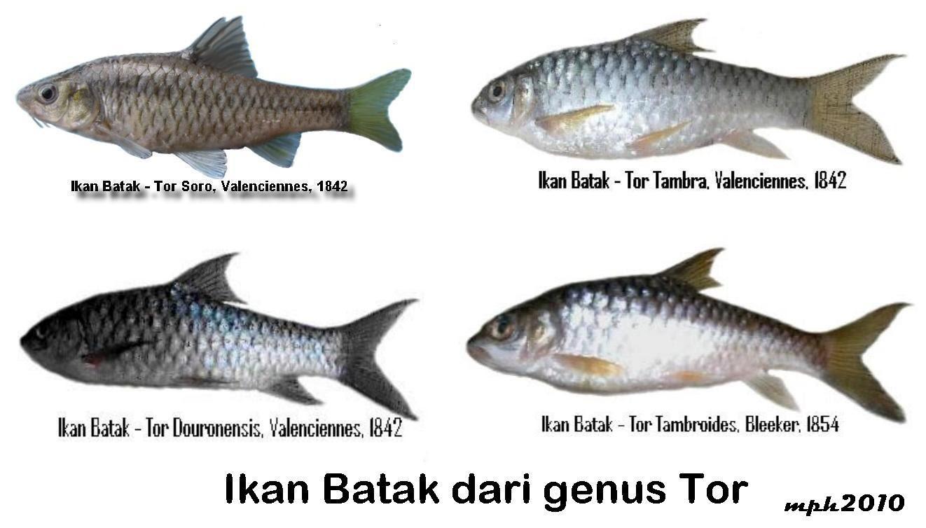 Unduh 450 Gambar Jenis Ikan Air Tawar Di Malaysia Terbaru