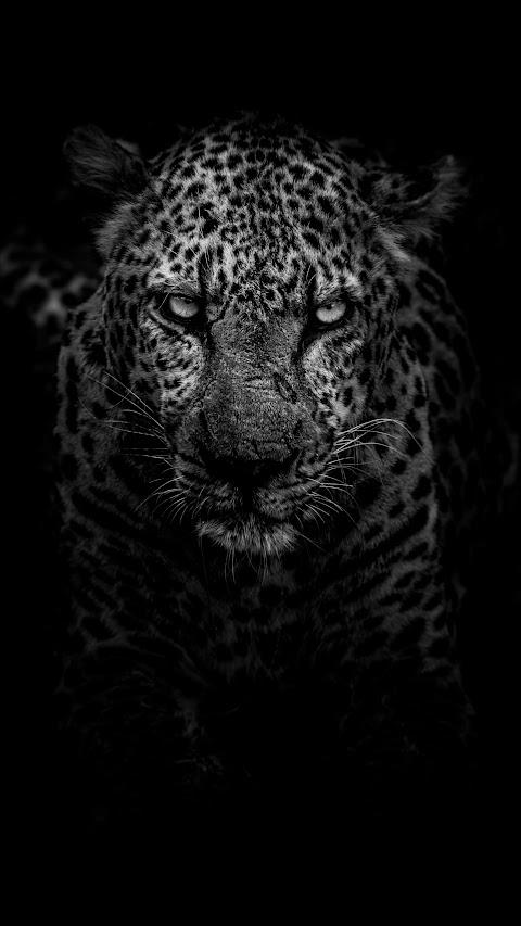 خلفية النمر ذو النظرة المرعبة بدقة عالية hd ابيض واسود