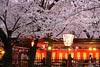 京都平野神社賞夜櫻