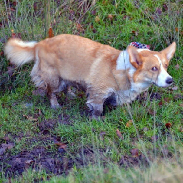 cachorro-envergonhado-8