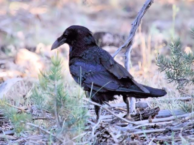 Common Raven adult 20130618