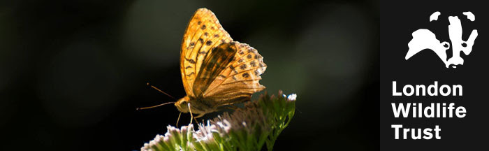 Silver washed fritillary butterfly © Daniel Greenwood