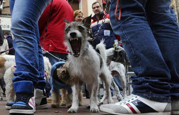 Cão é flagrado bocejando durante em evento em protesto ao abandono de animais no dia 15 de janeiro na Praça Chueca, em Madri.  (Foto: Pierre-Philippe Marcou/AFP)