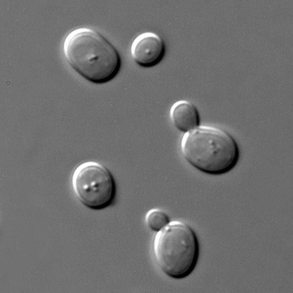 File:S cerevisiae under DIC microscopy.jpg