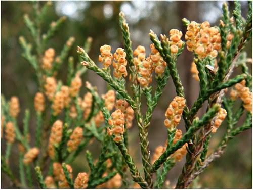 Tiny pollen cones by CameliaTWU