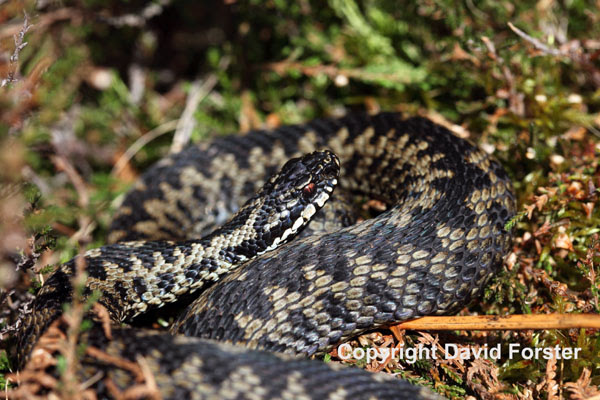 02D-0506 Male Adder Vipera berus Teesdale County Durham