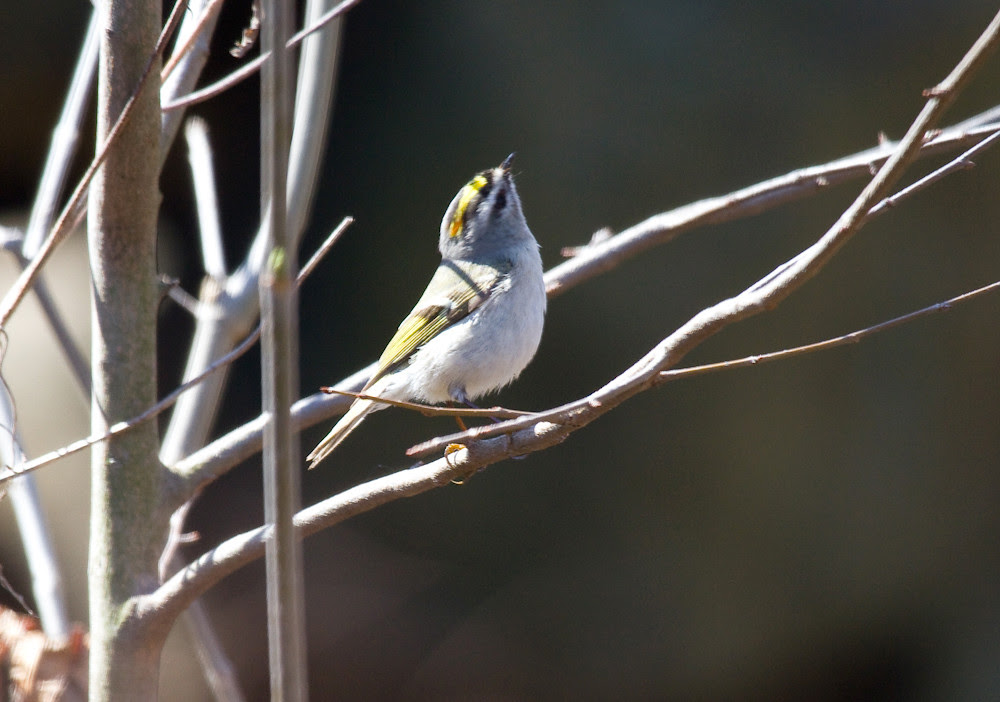 goldencrowned kinglet