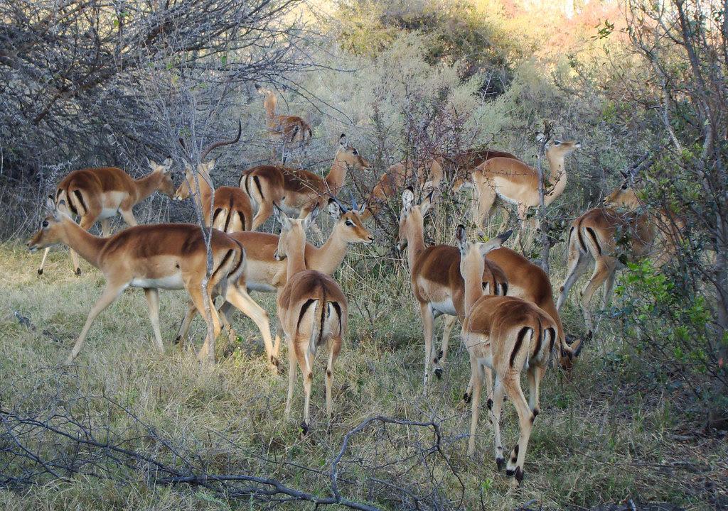 DSC08555 impala herd