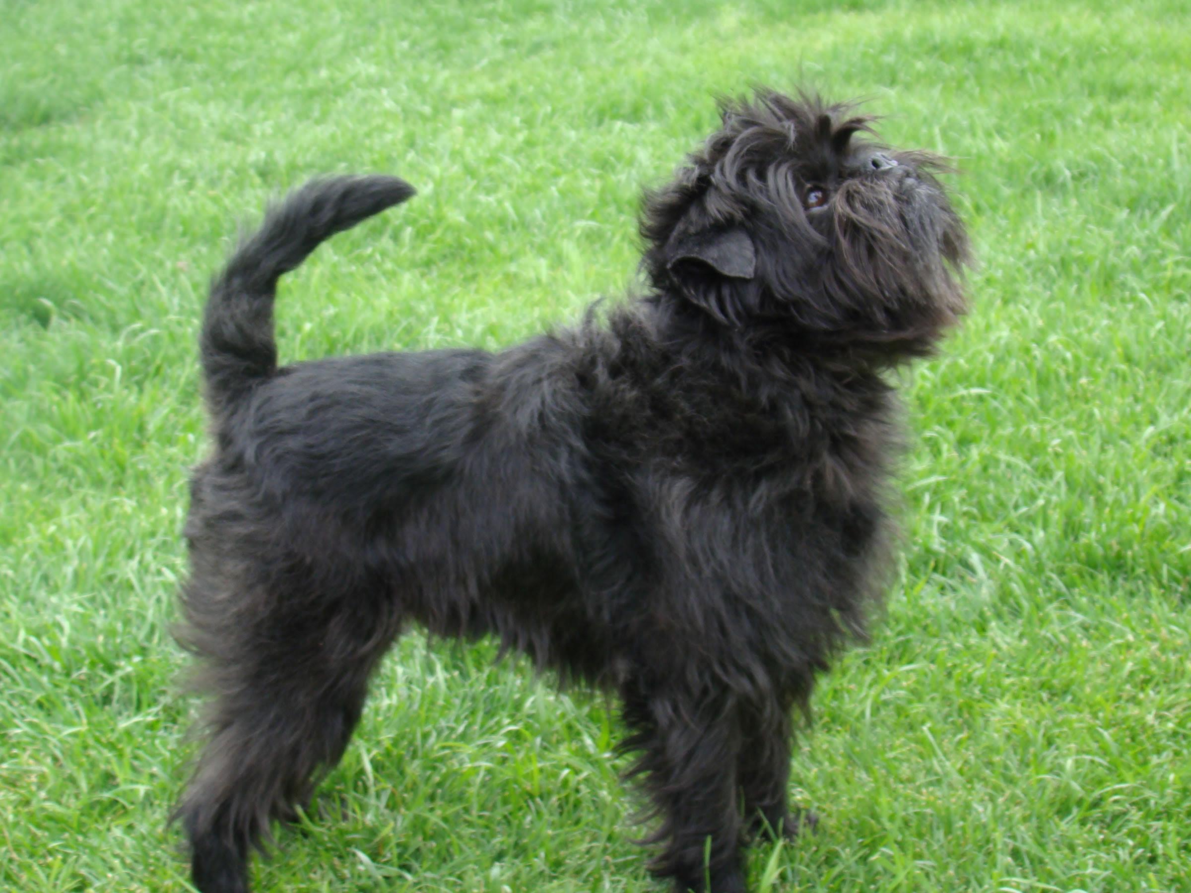 Affenpinscher  Puppies, Rescue, Pictures, Information, Temperament, Characteristics  Animals