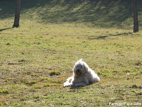 Livestock guardian dog Marta in the front field - FarmgirlFare.com -