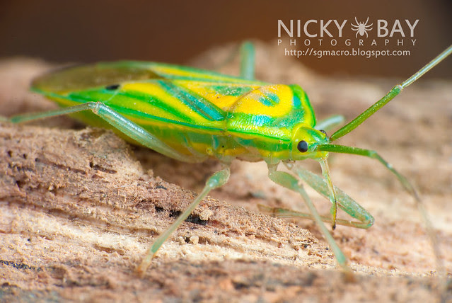 Mirid Bug (Miridae) - DSC_5700