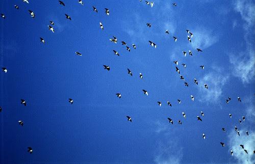 flocking by pho-Tony