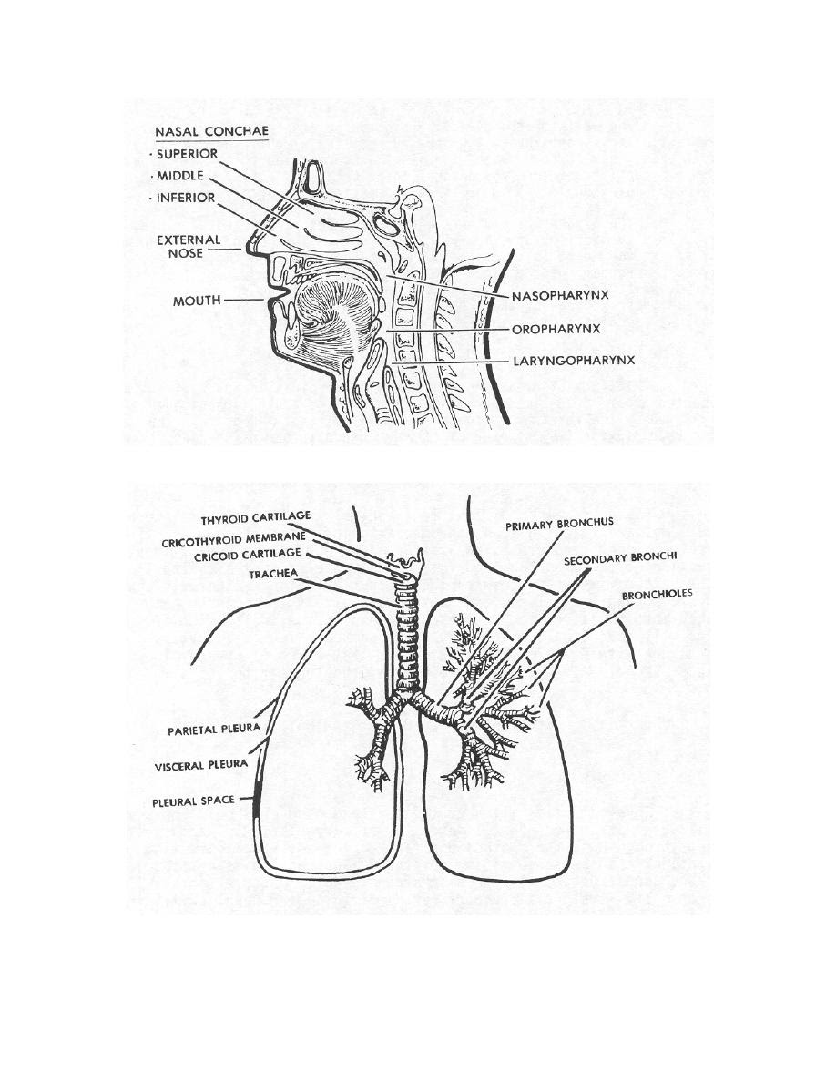 Blank Lower Respiratory System Diagram | World of Reference