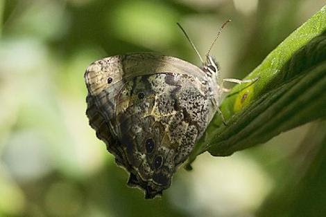 Por: lepidopterofilo.blogspot