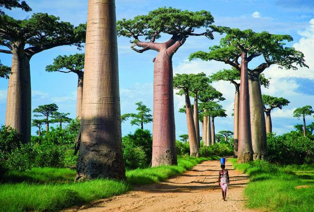 Avenue of the Baobabs...  Madagascar.