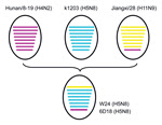 Thumbnail of Putative genomic compositions of novel influenza A(H5N8) viruses isolated from poultry, eastern China, 2013, and their 3 possible parent viruses. The 8 gene segments (from top to bottom) in each virus are basic polymerase 2, basic polymerase 1, acidic polymerase, hemagglutinin, nucleoprotein, neuramindase, matrix, and nonstructural protein. Each color represents a separate virus background: purple indicates Hunan/8-19 (H4N2); A/duck/Hunan/8–19/2009(H4N2); blue indicates k1203 (H5N8)
