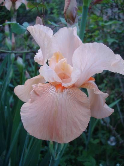 iris_arancio6