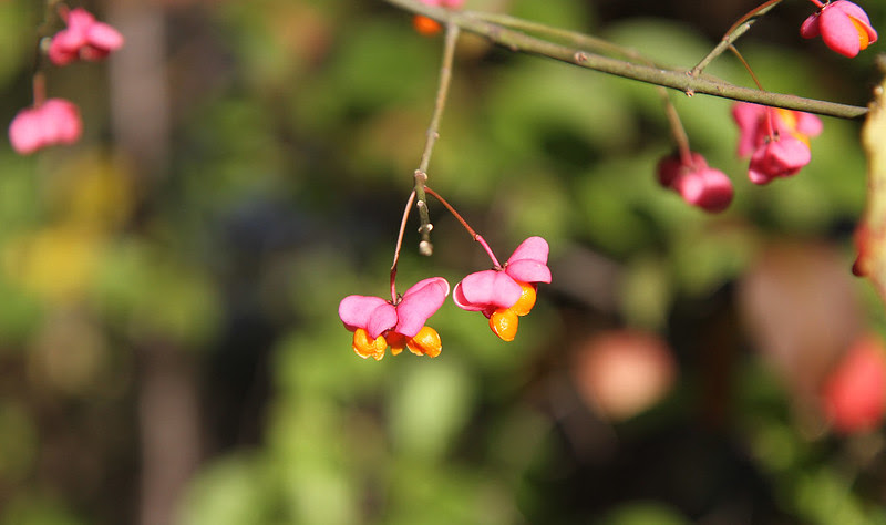 spindleberries in sunlight