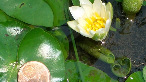 The tiny water lily Nymphaea thermarum was declared extinct after 