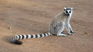 Ring-tailed Lemur (Lemur catta) at Berenty Pri...