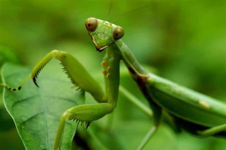 Praying Mantis in the garden