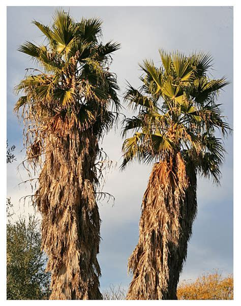 California Fan Palm   DesertUSA