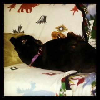Lazy Sunday! #dogs #dobermanmix #dobiemix #dogstagram #sleepy #love