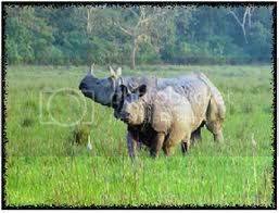 Assam One horned rhino