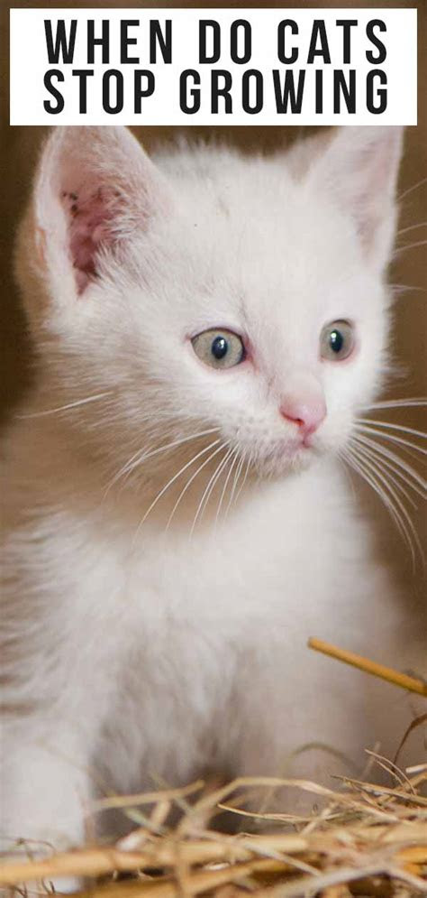 cats stop growing  complete kitten growth guide